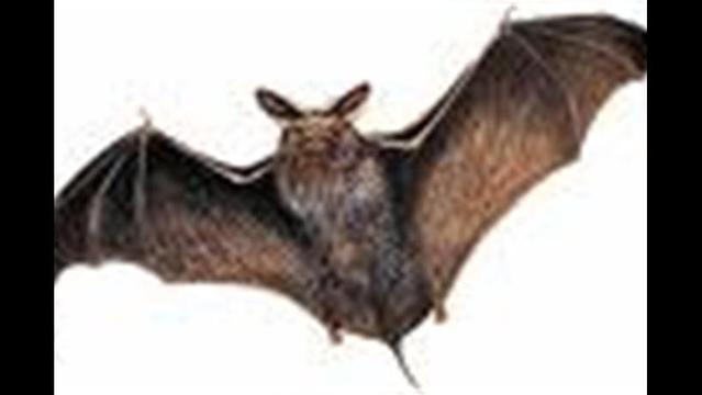 Dead Bats Tested for Rabies as Cases Continue to Rise