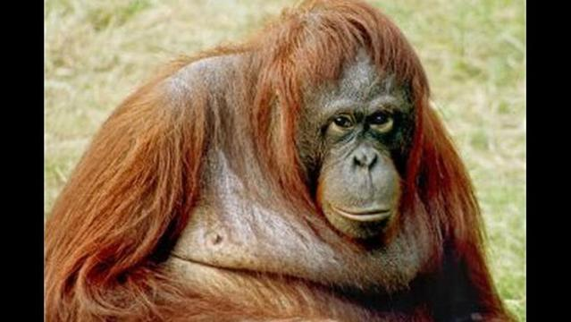 Nature in Danger: Orangutans are gentle apes facing extreme threats