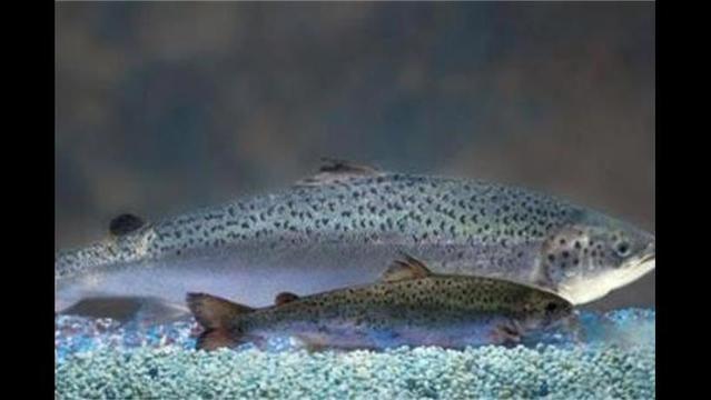 Will Whole Foods and Trader Joe's kill the genetically modified salmon?