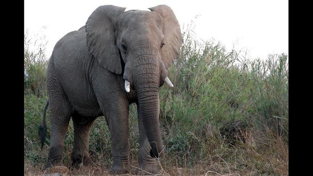 Nature in Danger: The African Elephant
