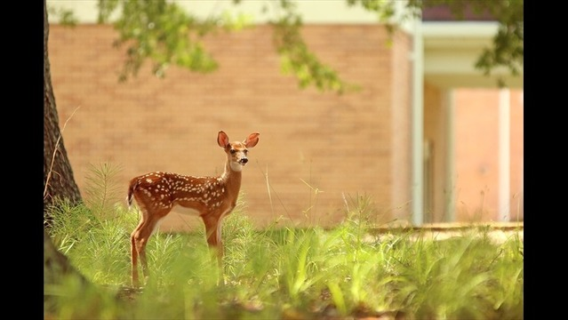 Photographer Captures Pictures of Deer on SAU Campus