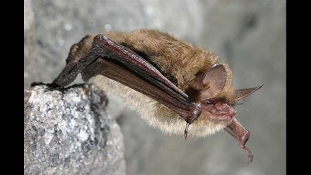 Concern over Endangered Species Classification for Northern Long-Eared Bat