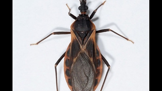 Web Extra: 7 Places to Check for Kissing Bugs Around Your Home