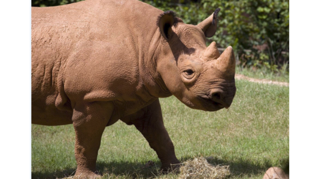 Little Rock Zoo Gets New Rhino