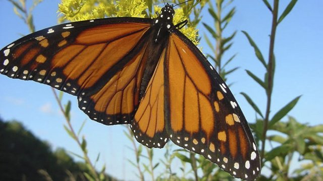 Monarch Butterfly Migration Through Arkansas