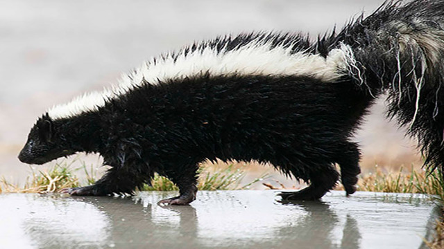 Rabid Skunk Found in Garland County