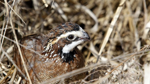 Northern Bobwhite Ringtone Available on AGFC Website