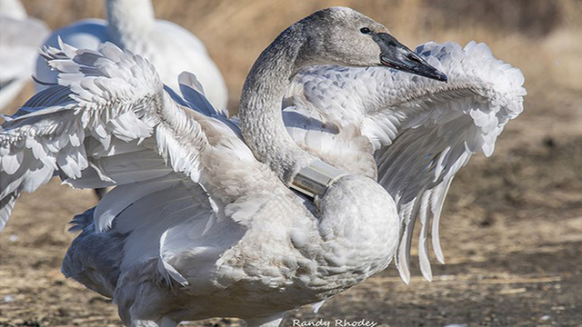 Tracking Trumpeter Swan Leads Back to Iowa Research Group